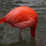 Flamingo  klein