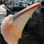 Pelikan 4 klein