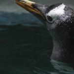 Pingu 2 klein
