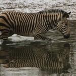 Zebra 1 klein