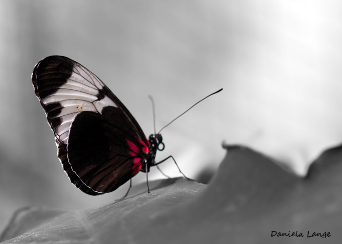 Tropenschmetterling-8a-web
